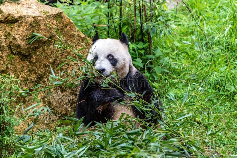 Hungrig björn för jätte- panda som äter bambu royaltyfri fotografi
