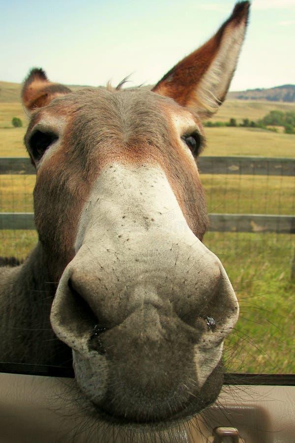 hungrig burro fotografering för bildbyråer