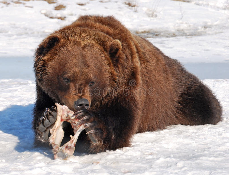 Hungrig grizzly royaltyfri bild