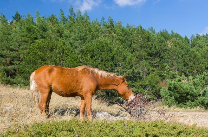Hungrig häst som äter höfter royaltyfri fotografi