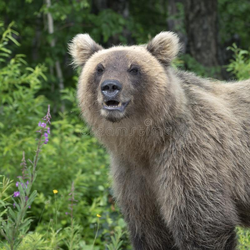 Hungrig Kamchatka för stående brunbjörn royaltyfri bild