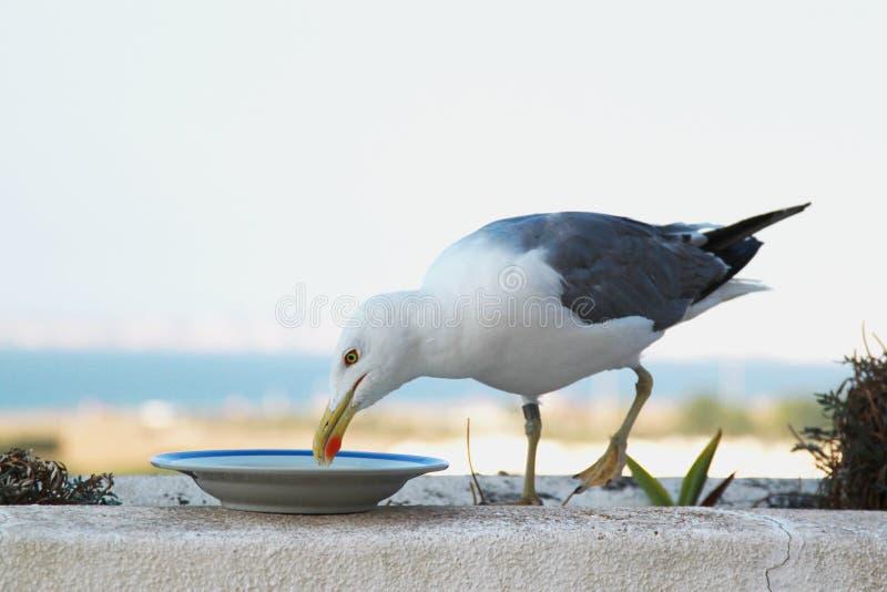 Hungrig Seagull royaltyfri foto