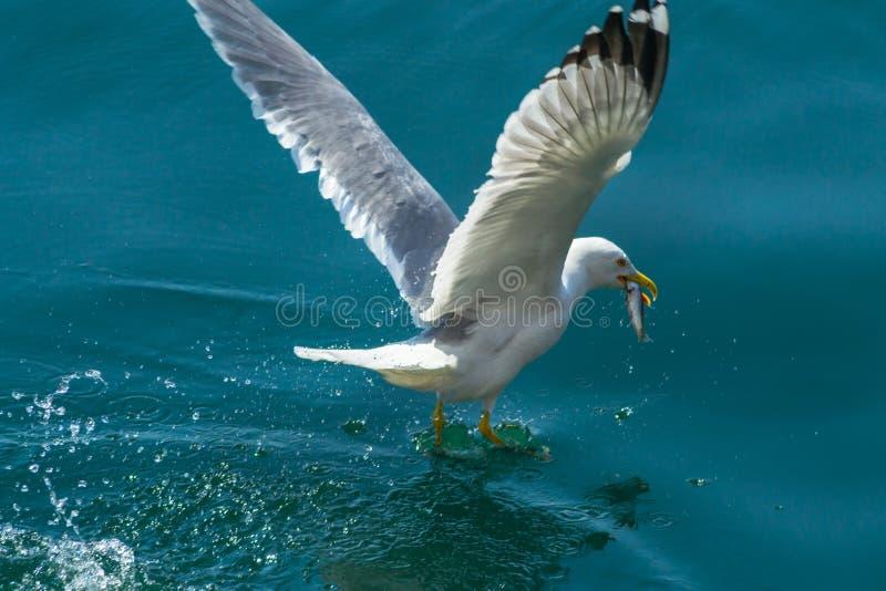 Hungrig seagull arkivbilder