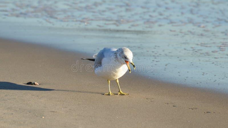 Hungrig Seagull på stranden royaltyfri fotografi