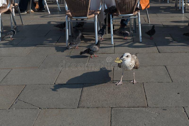 Hungrig Seagull som äter chiper i piazza San Marco i Venedig fotografering för bildbyråer