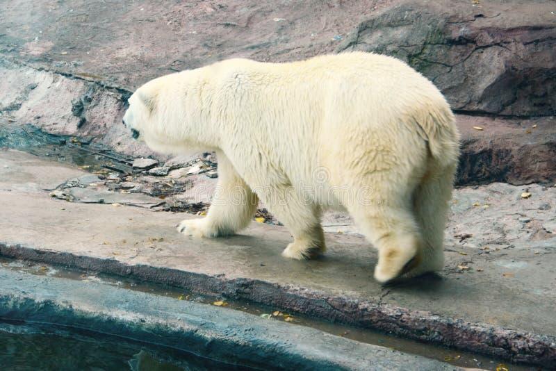 Hungrig smutsig isbjörn i en zoo Problem av skydd av vilda djur royaltyfri bild