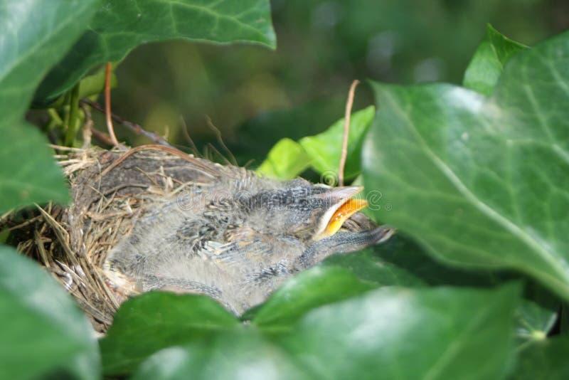 Hungriga fåglar i ett rede arkivfoton