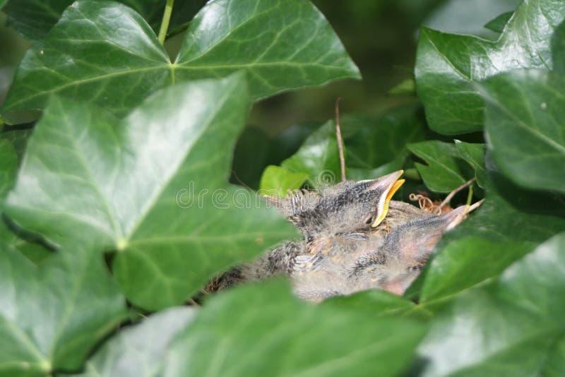 Hungriga fåglar i ett rede royaltyfri bild