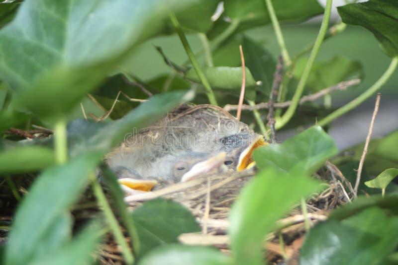 Hungriga fåglar i ett rede arkivbild
