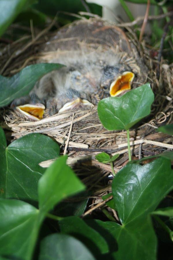 Hungriga fåglar i ett rede royaltyfria bilder