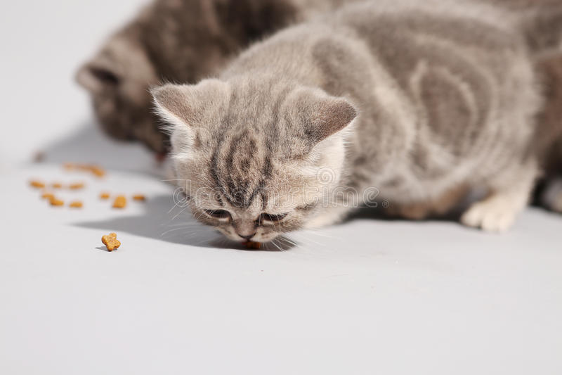 Hungriga gulliga kattungar arkivfoton