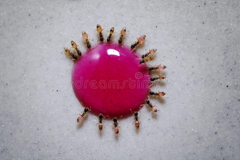 Hungriga myror som kollektivt äter från en droppe av droppe för sockersirap royaltyfria foton