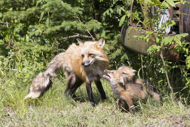 Hungriga satser och moder för röd räv arkivfoton