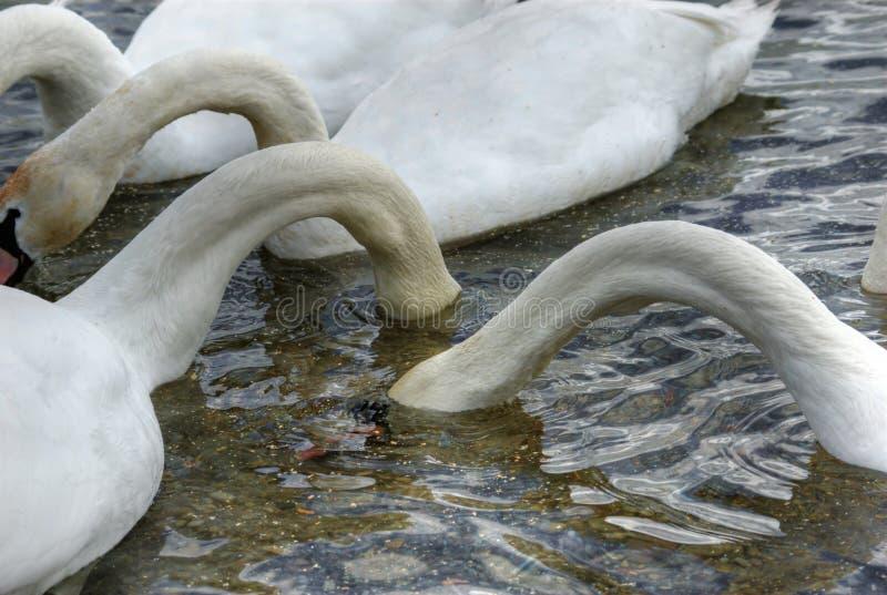 hungriga swans tre royaltyfri foto