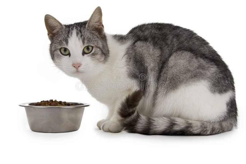 Hungrige Katze stockfotografie