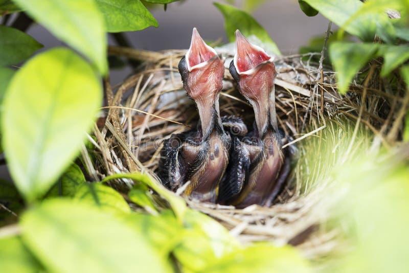 Hungrige Vogelbabys des gelben gelüfteten Bulbul bitten um Nahrung in einem Nest auf einem Baum stockfoto
