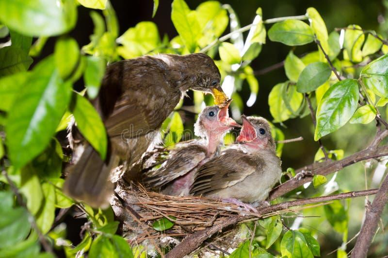Hungrige Vogelbabys Streifen-ohriger Bulbul stockfotografie