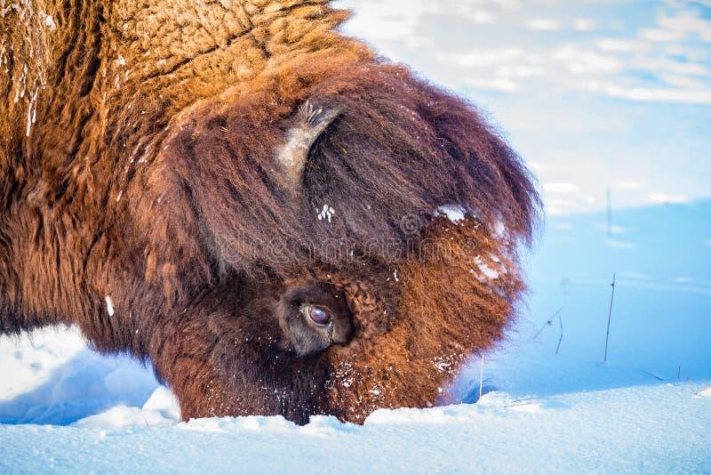 Hungriger Bison gräbt tief in den Schnee, damit Gras isst lizenzfreie stockfotos
