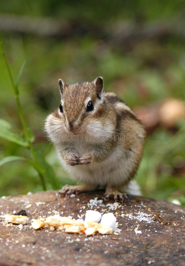 Hungriger Chipmunk stockbilder