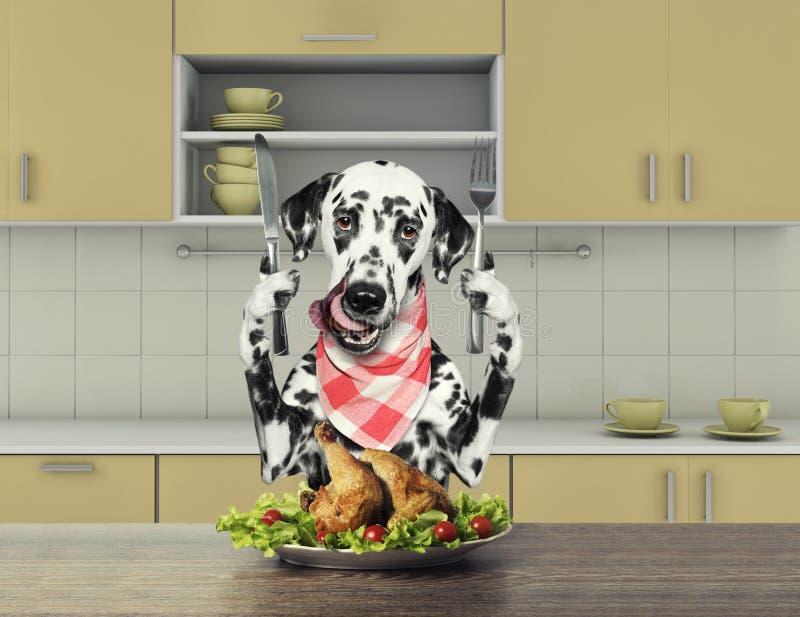 Hungriger dalmatinischer Hund, der am Tisch sitzt und geht, Huhn zu essen stockfoto