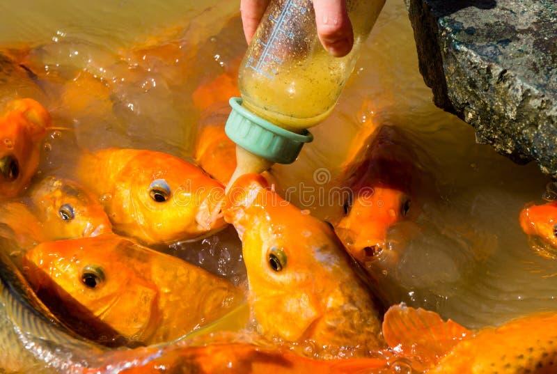 Hungriger Fisch isst Lebensmittel von der Flasche viele Fische im Teich Fütterungsfische des Mädchens lizenzfreies stockbild
