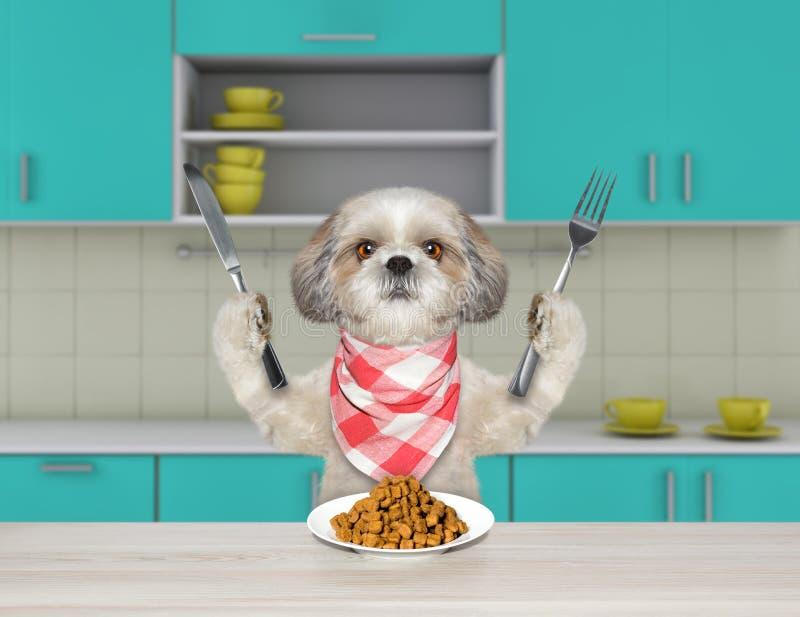Hungriger shitzu Hund mit Messer und Gabel für das Abendessen, das am Tisch sitzt und geht, trockenes Lebensmittel zu essen lizenzfreies stockfoto