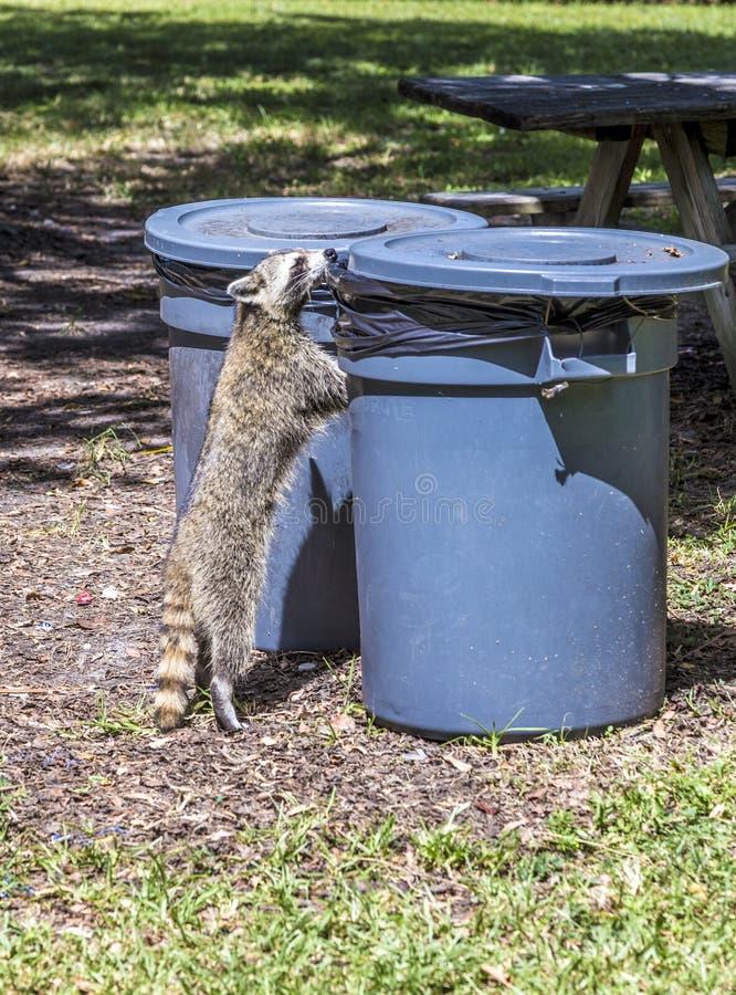 Hungriger Waschbär, der nach Lebensmittel sucht lizenzfreies stockfoto