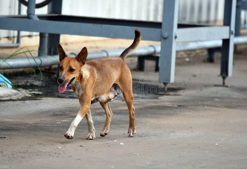 Hungriger Weg des streunenden Hundes allein lizenzfreie stockbilder