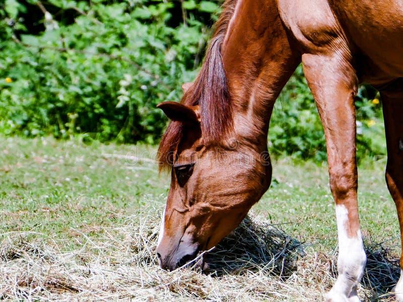 Hungriges Pferd stockfoto
