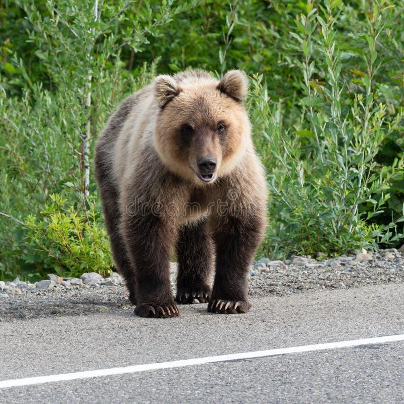 Hungrigt anseende för piscator för brunbjörnUrsusarctos på vägrenen av asfaltvägen arkivfoto