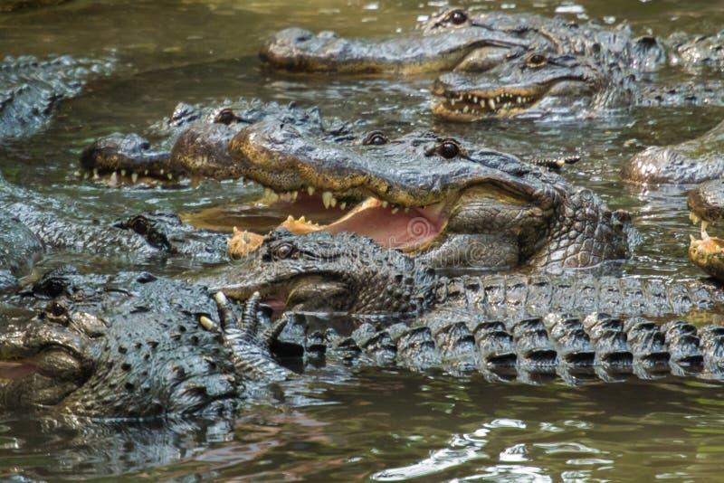 Hungrt Gator Teeth. royalty free stock image