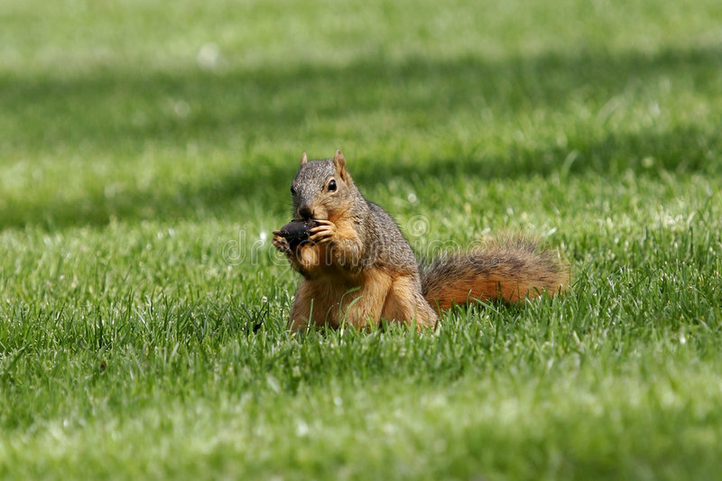 Download Hungry stock image. Image of cudly, cute, wilderness, squirrels - 77921