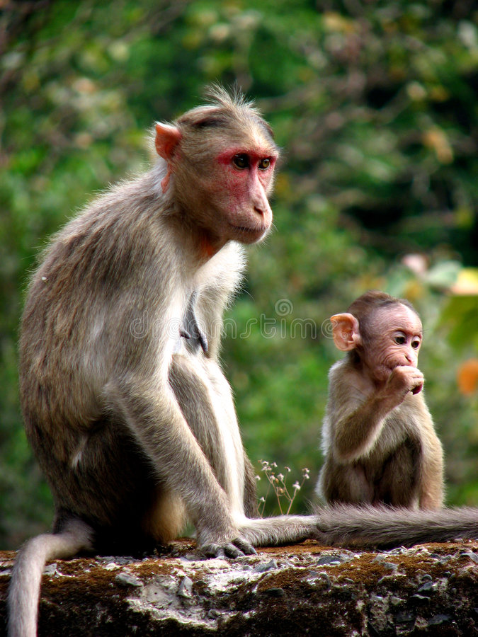 Download Hungry Baby stock photo. Image of animal, india, monkey - 2334154
