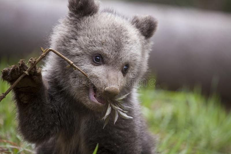 Hungry baby bear biting on branch royalty free stock image
