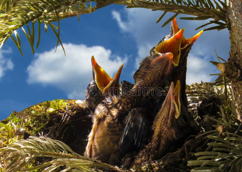 Hungry baby birds stock image