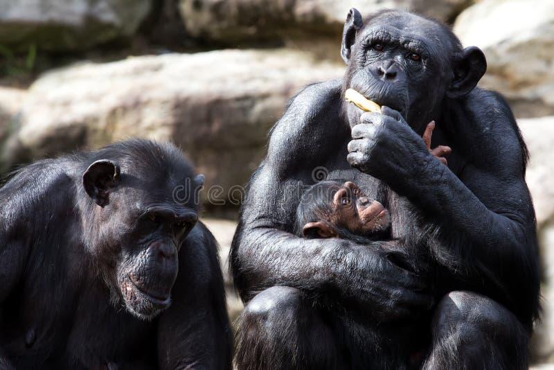 Hungry baby chimp stock photo