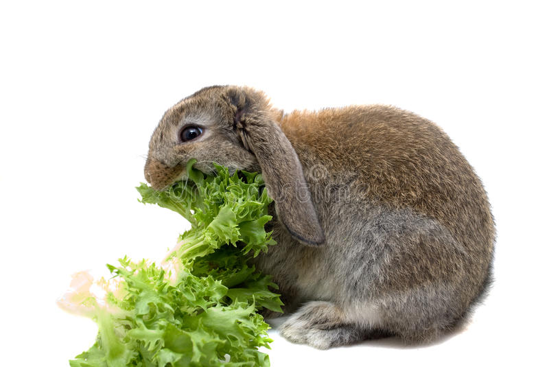 Hungry Baby Rabbit. Greedy baby rabbit eating lettuce stock images