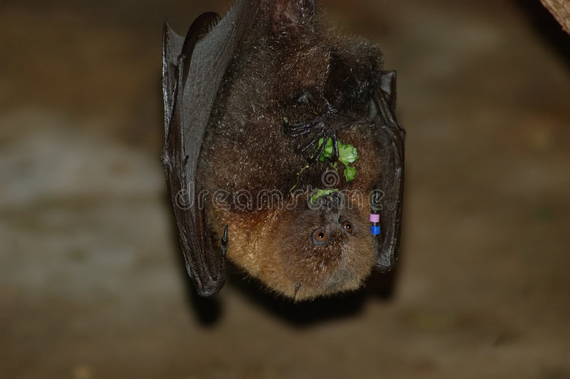 Download Hungry Bat stock image. Image of animals, down, blind, dracula - 170047