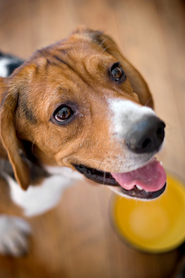 Hungry Beagle royalty free stock image