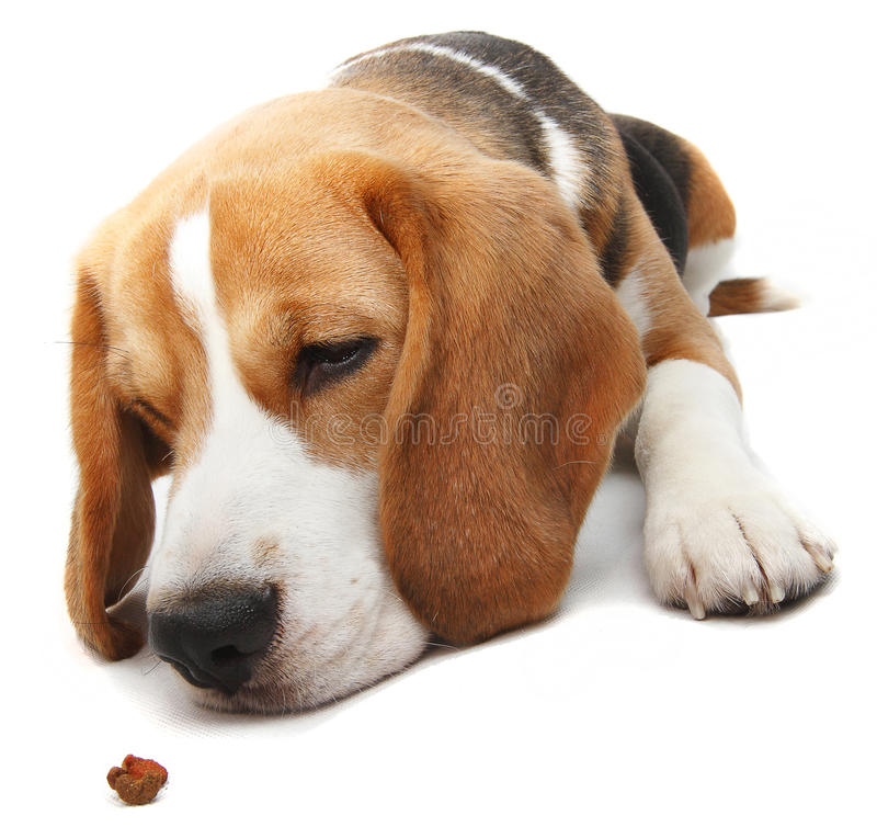 Hungry beagle dog. In obedience training stock photos