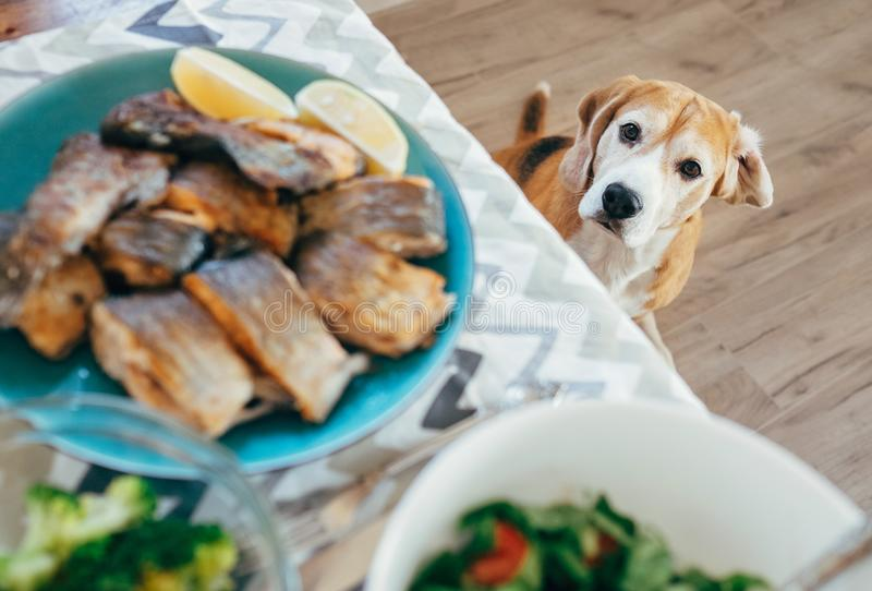Hungry beagle looks on dinner table with served meal stock photo