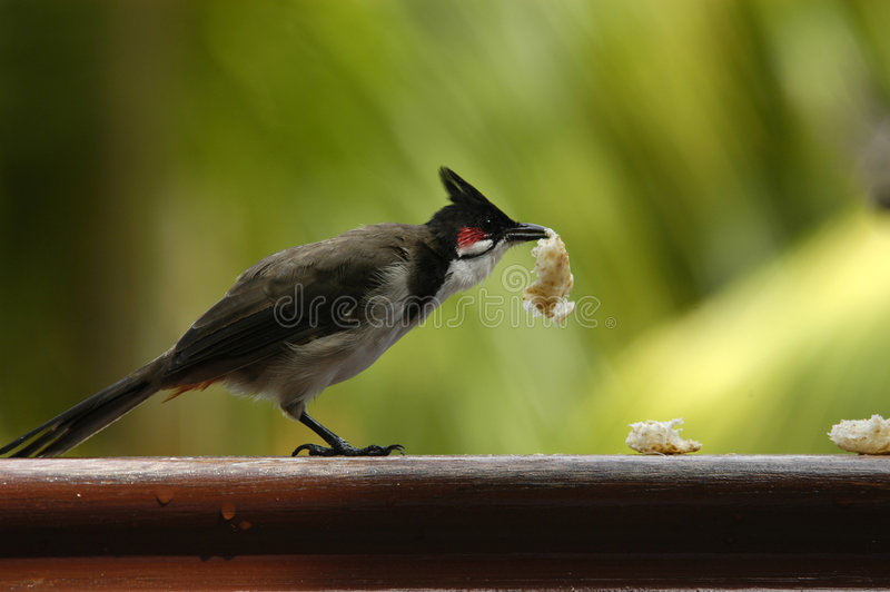 Hungry bird. Eating in Mauritius royalty free stock photo