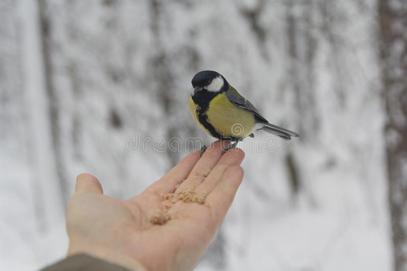 Hungry bird in the hand in a winter park. Birds royalty free stock photos