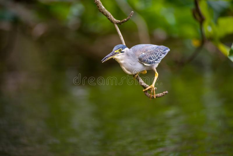 The fish eater is a bird found near the rivers. The hungry bird waiting for her food , hunting time, stay focus for a living royalty free stock photography