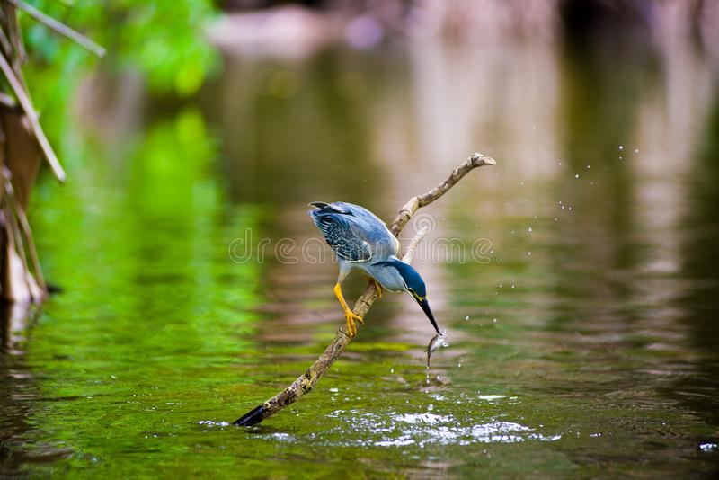 The fish eater is a bird found near the rivers. The hungry bird waiting for her food , hunting time, stay focus for a living stock photos