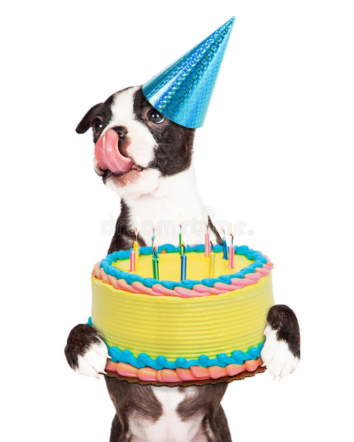 Hungry Birthday Puppy Holding Cake. Cute little Boston Terrier puppy with tongue out licking lips and carrying a birthday cake with lit candles royalty free stock photo