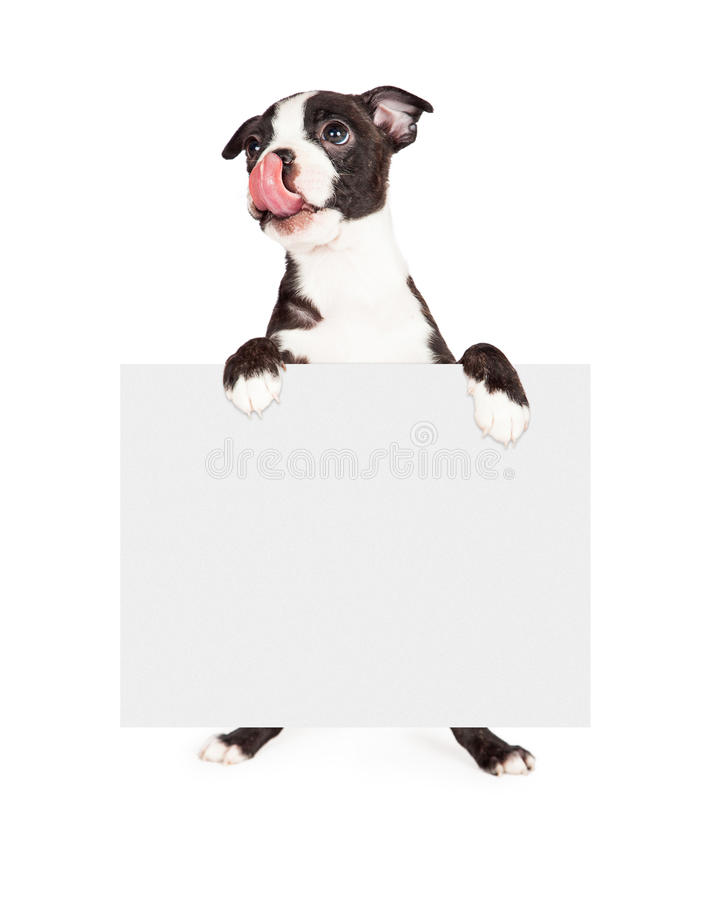Hungry Boston Terrier Dog Holding Blank Sign royalty free stock images