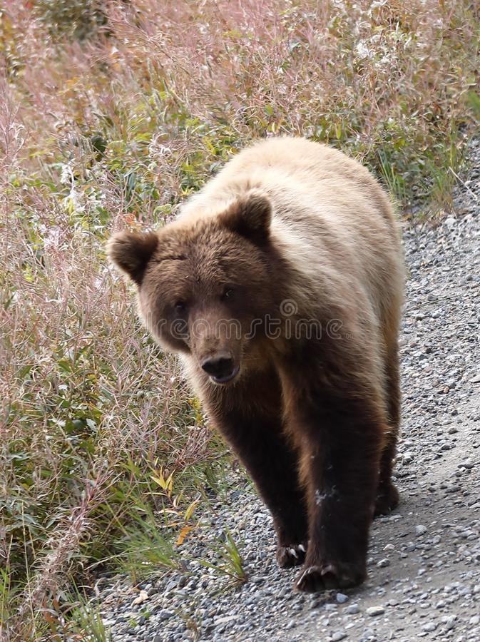 Brown Bear in Denali National Park in Alaska stock photography