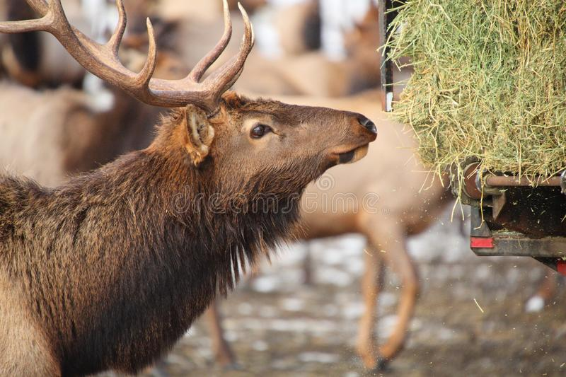 A hungry bull elk following a truck loaded with hay, Oak Creek F royalty free stock image