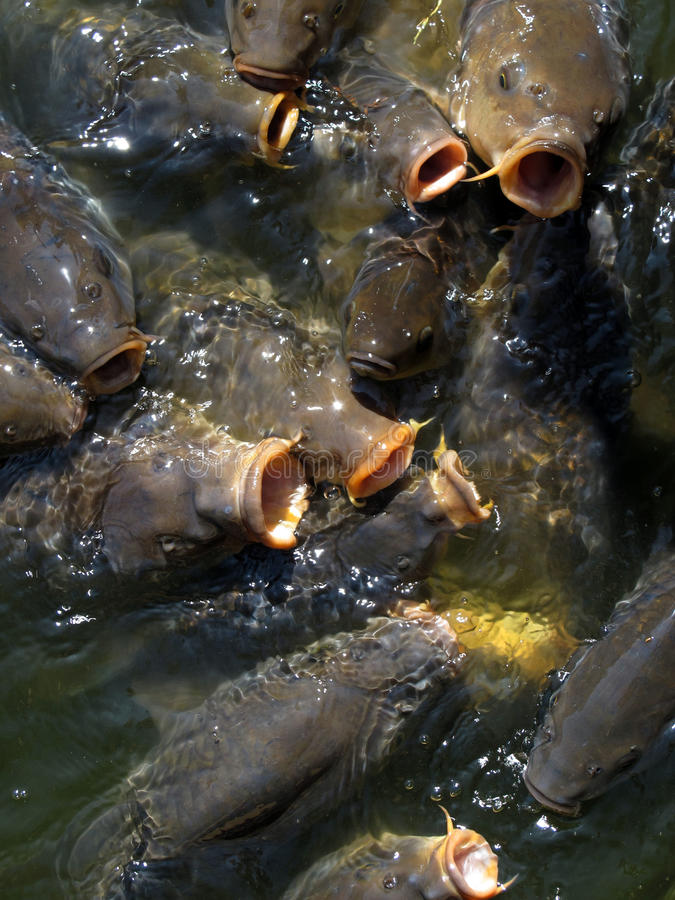Download Hungry carps stock image. Image of hungry, backgrounds - 19813121
